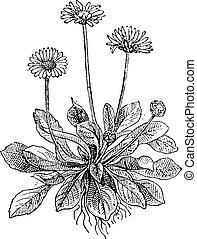 grabado, vendimia, perennis, bellis, margarita, o, común