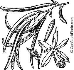 grabado, vendimia, vainilla, planifolia, o