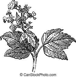 grabado, viburnum, vendimia, rosa, guelder, opulus, o