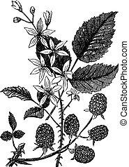 grabado, villosus, vendimia, rubus, mora, o