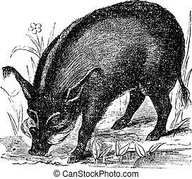 grabado, wart-hog, vendimia, lens-pig, phacochoerus, africanus, africano, warthog, o