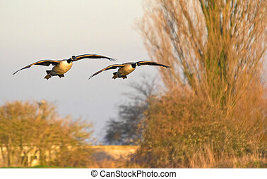 A pair of Canadian Geese gracefully glide through the air en route to the evening roosting site in the UK.
