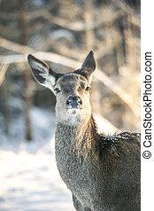 Graceful Adult Female Red Deer On A Snow Hill. European Wildlife Landscape With Deer Cervus Elaphus. Portrait Of Lonely Deer Cervidae At Aspen Forest Background. Deer In The Natural Habitat at sunset