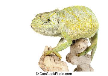 Graceful Chameleon