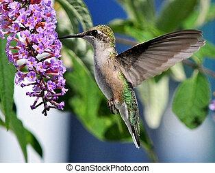 Graceful Hummingbird