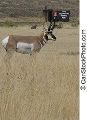Graceful pronghorn antelope at Gardiner in Montana