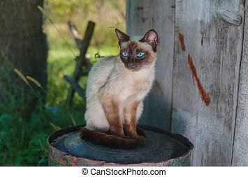 Siamese cat sitting on a rusty cask in summer garden