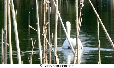 Graceful white swan swims on surface of pond. - A graceful...