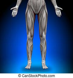 gracilis, anatomia, músculos, -, femininas