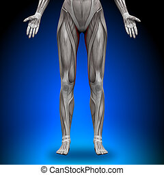 gracilis, anatomie, muscles, -, femme