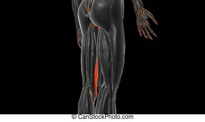 Gracilis Muscle Anatomy For Medical Concept 3D Illustration