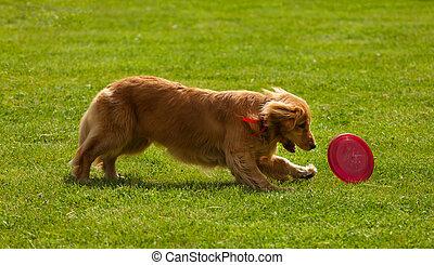 gracioso, perro cobrador, juego, dorado, disco volador