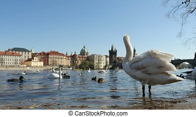 Gracious white swan standing on a river bank near the Charles bridge in slo-mo