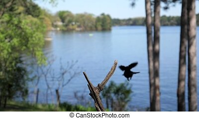 Grackle bird leaves branch to fly away into the distance. -...