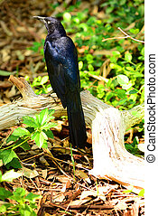 Grackle Bird
