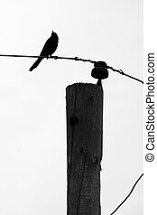 Grackle on Telephone Pole