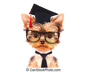graduated dog isolated on a white background