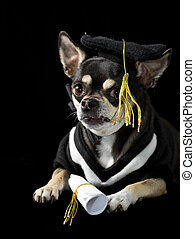 Great Graduation Cap Black Adorable Dog - graduation-dog-cute-chihuahua-in-cap-and-gown-for-graduation-on-black-background-stock-images_csp9986605  Trends_792346  .jpg
