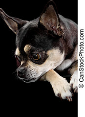 Simple Graduation Cap Black Adorable Dog - graduation-dog-cute-chihuahua-in-cap-and-gown-for-graduation-on-black-background-stock-photograph_csp9986549  2018_496426  .jpg