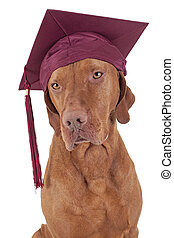 graduation dog - pure breed gold color pointer dog wearing...