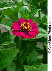 grafické pozadí., květiny, cínie, blbeček