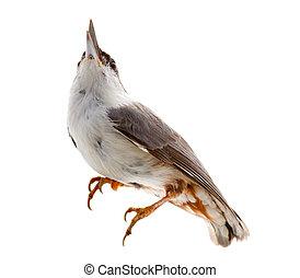 grafické pozadí., louskáček, neposkvrněný, osamocený, ptáček