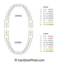 grafico, dente, denti umani