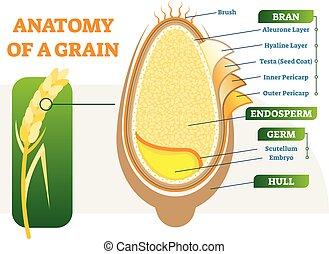 Grain anatomical layers vector illustration diagram.