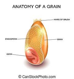 Grain anatomy. Cross section of a grain. Endosperm, germ,...