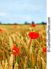 Grain and poppy field