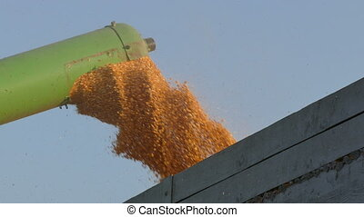 Grain auger of combine pouring corn crop - Corn harvest,...