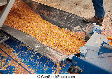 Grain being processed in machine
