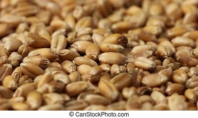 Grain - Close-up of wheat grain