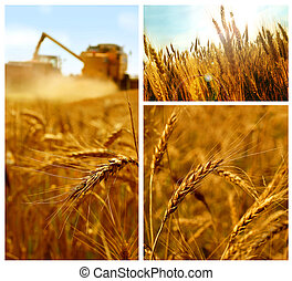 Grain collage - Grain harvest, grain field detail, summer,...