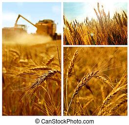 Grain collage - Grain harvest, grain field detail, summer,...
