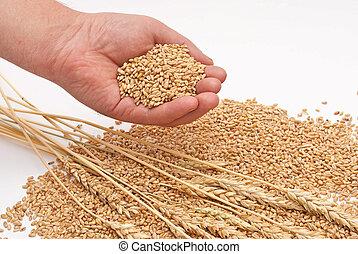 grain, de, blé, dans, mains