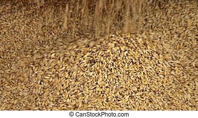 Falling barley grain