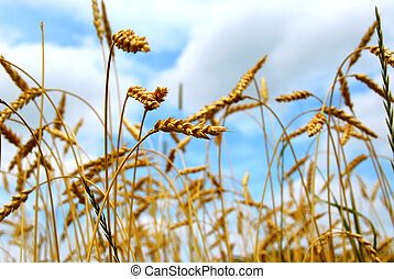 Grain field - Close up on grain ready for harvest growing in...