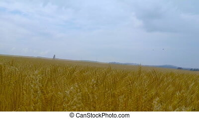 Grain field, green grain growing in