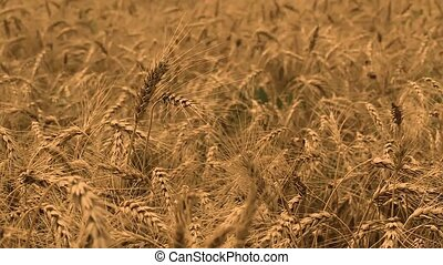 Grain field, green grain growing in a farm field, close-up ...