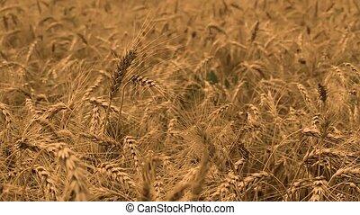 Grain field, green grain growing in a farm field, close-up of spikelets of wheat, field of wheat, fly thru the field of wheats