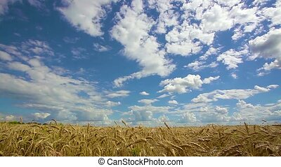 Grain field, green grain growing in a farm field