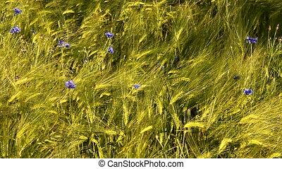 grain field in early summer