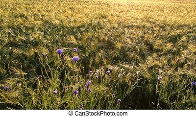 Grain field in the evening sun