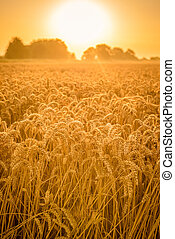 Grain field in the sunshine in the morning