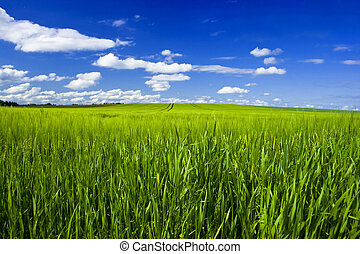 grain field with blue sky and clouds