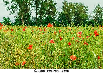 Grain field with poppy plants