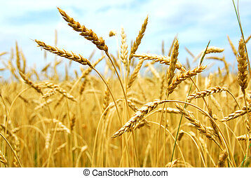 Grain field - Yellow grain ready for harvest growing in a...