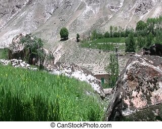 Grain growing in Afghanistan - Grain growing in early summer...