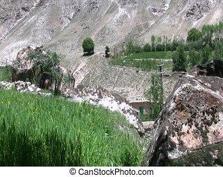 Grain growing in Afghanistan - Grain growing in early summer...